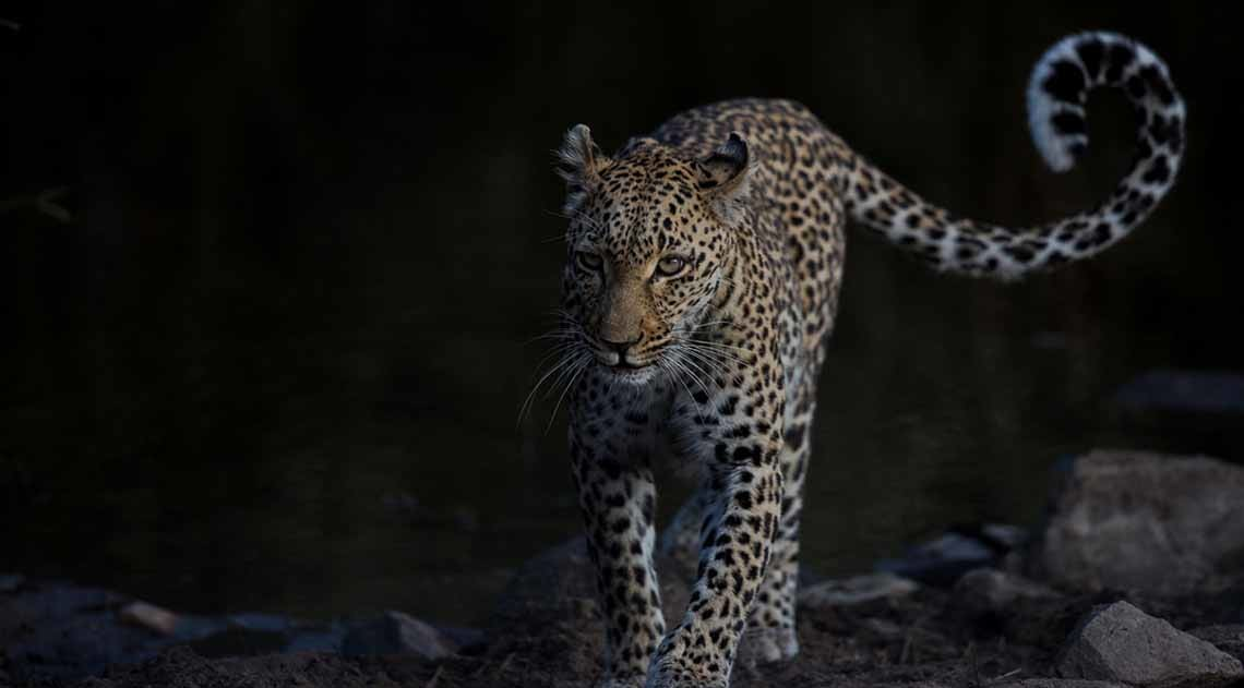 Leopard in the dark