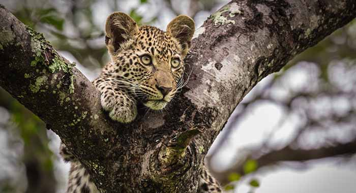 Leopard on look out in trees