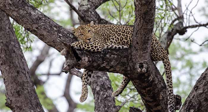 Leopard relaxing in trees
