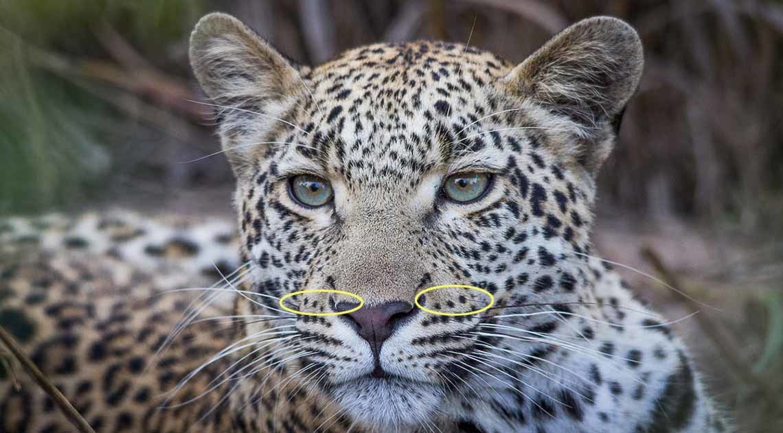 Leopard with 6 rosettes on cheek