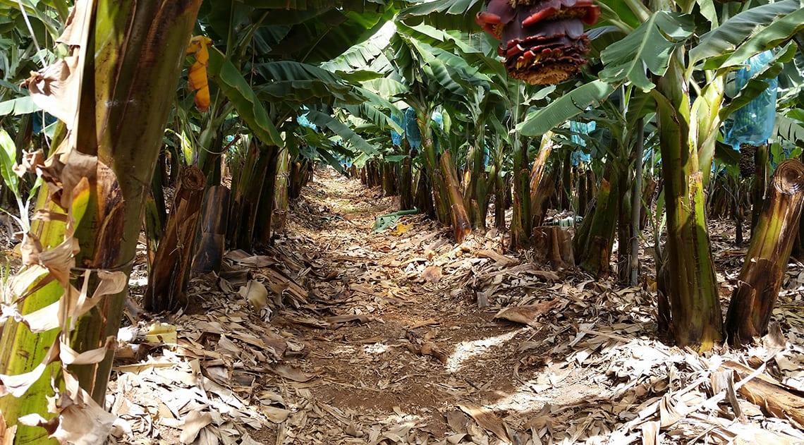 Finca El Lomo banana plantation