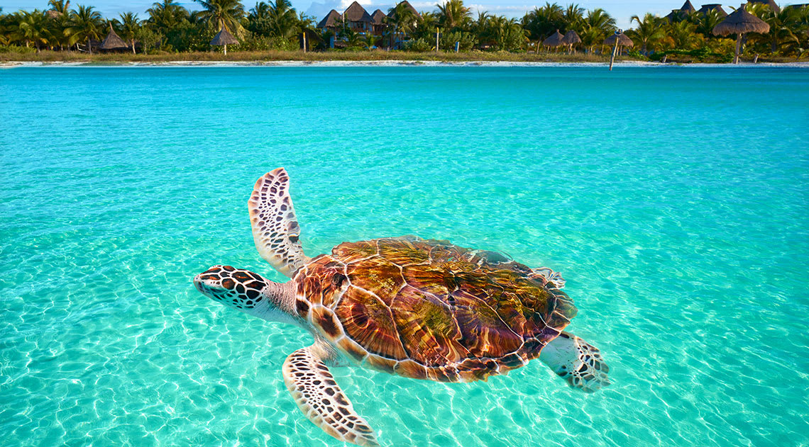 Turtle in the clear blue water