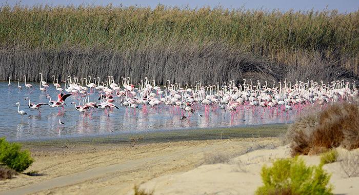 Al Wathbah flamingoes