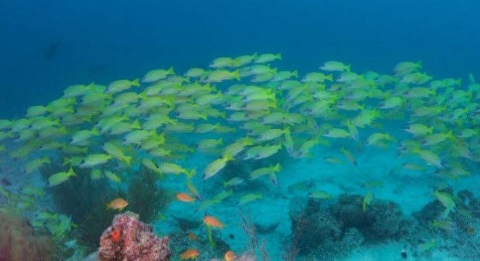 Mass of green fish underwater