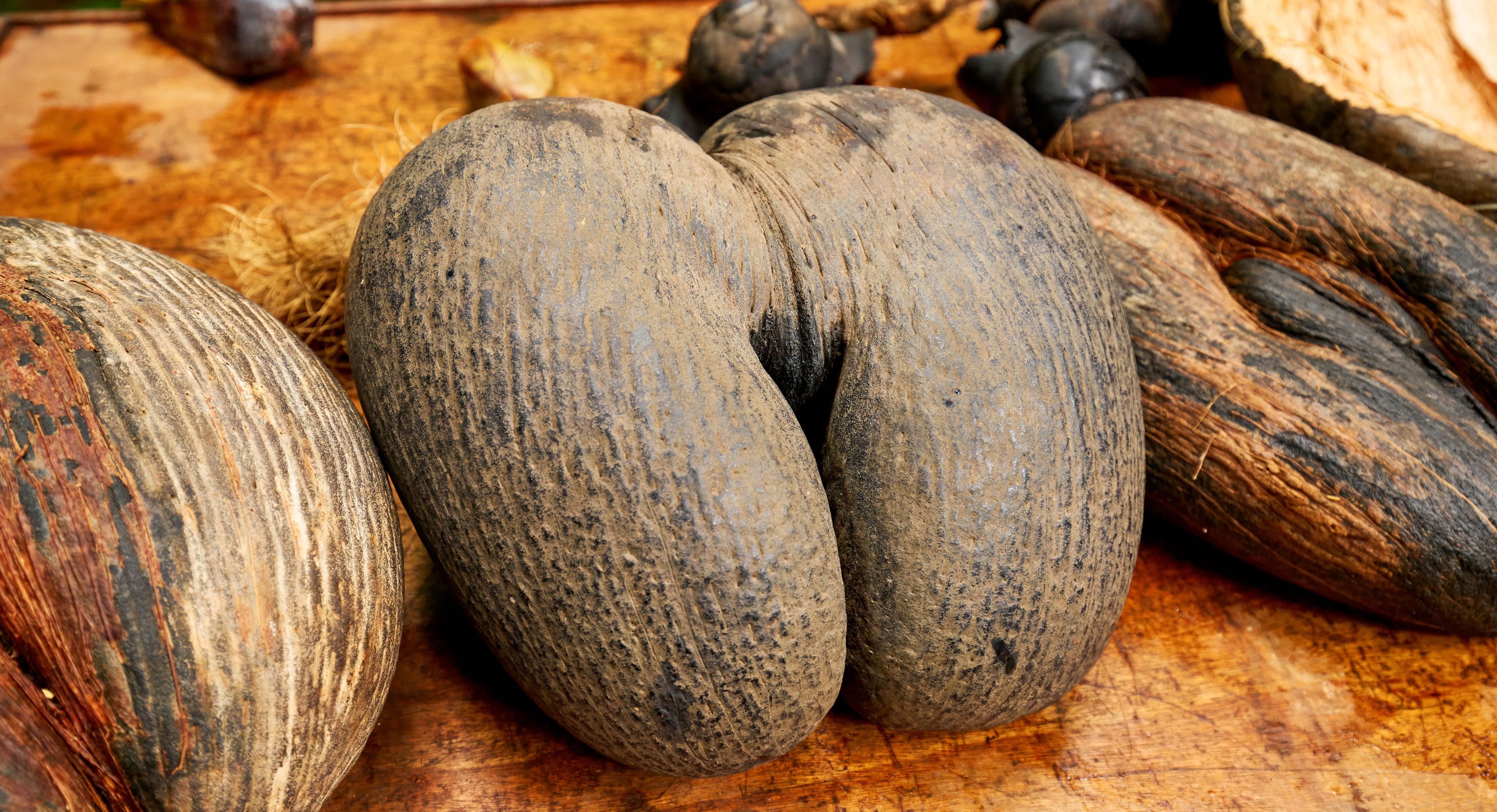 Coco-de-Mer double lobed coconut