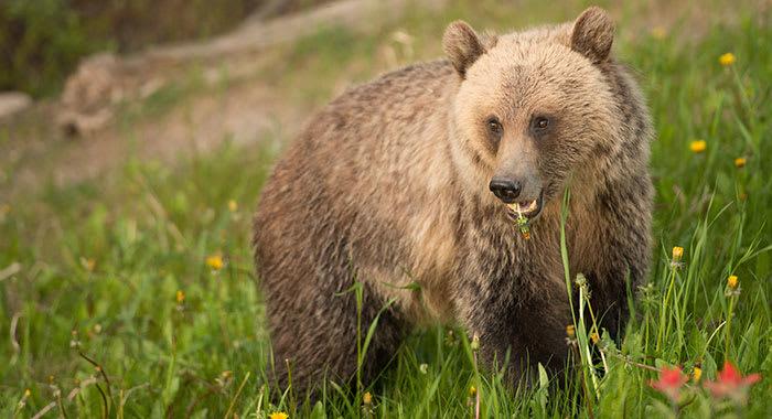 Grizzley bear in Banff