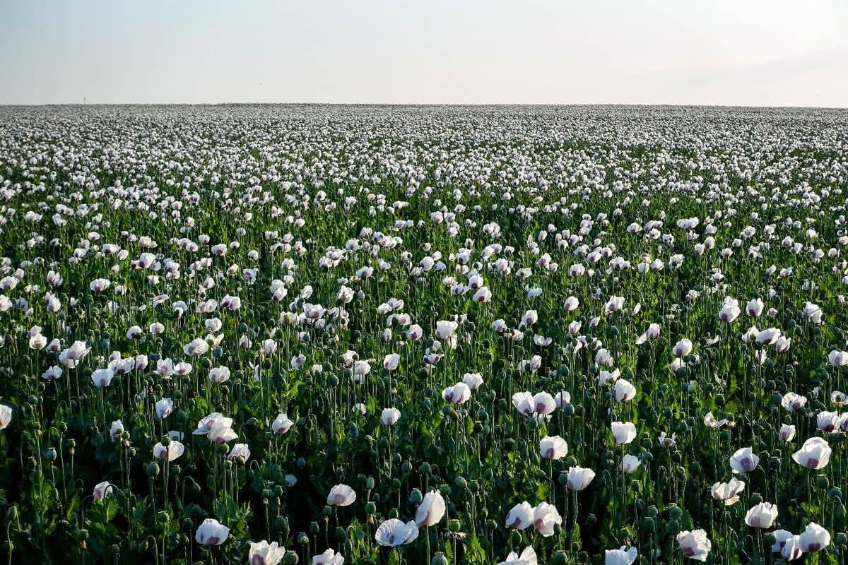 Opioid Poppy Field