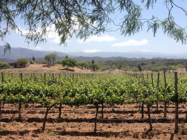 Vineyard-outside-of-Cafayate-600x450