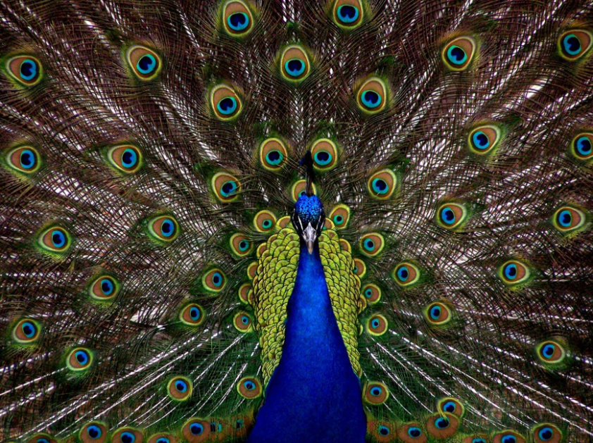 A shot of a peacock with colorful feathers on full display.