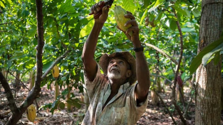 What bean to bar strategies improve the lives of cocoa farmers ...