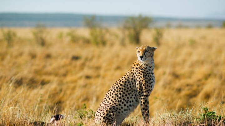 How family planning can help save cheetahs | Devex