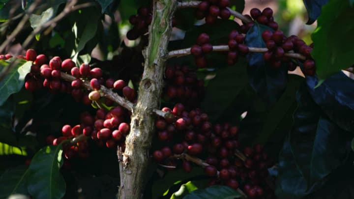 Myanmar's journey to specialty coffee and its lessons for