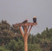 Bald Eagles back on the platform