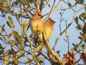 Cedar Waxwings and Robins