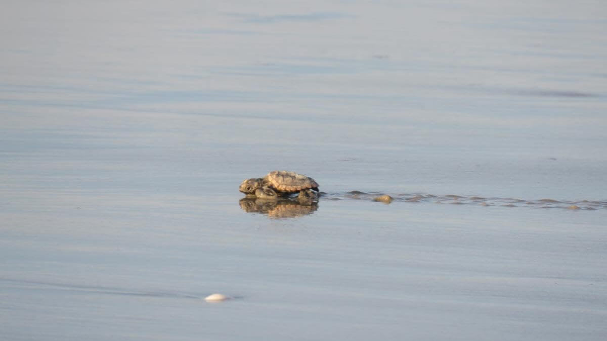 Video of Nesting and Hatching turtles in record setting year!