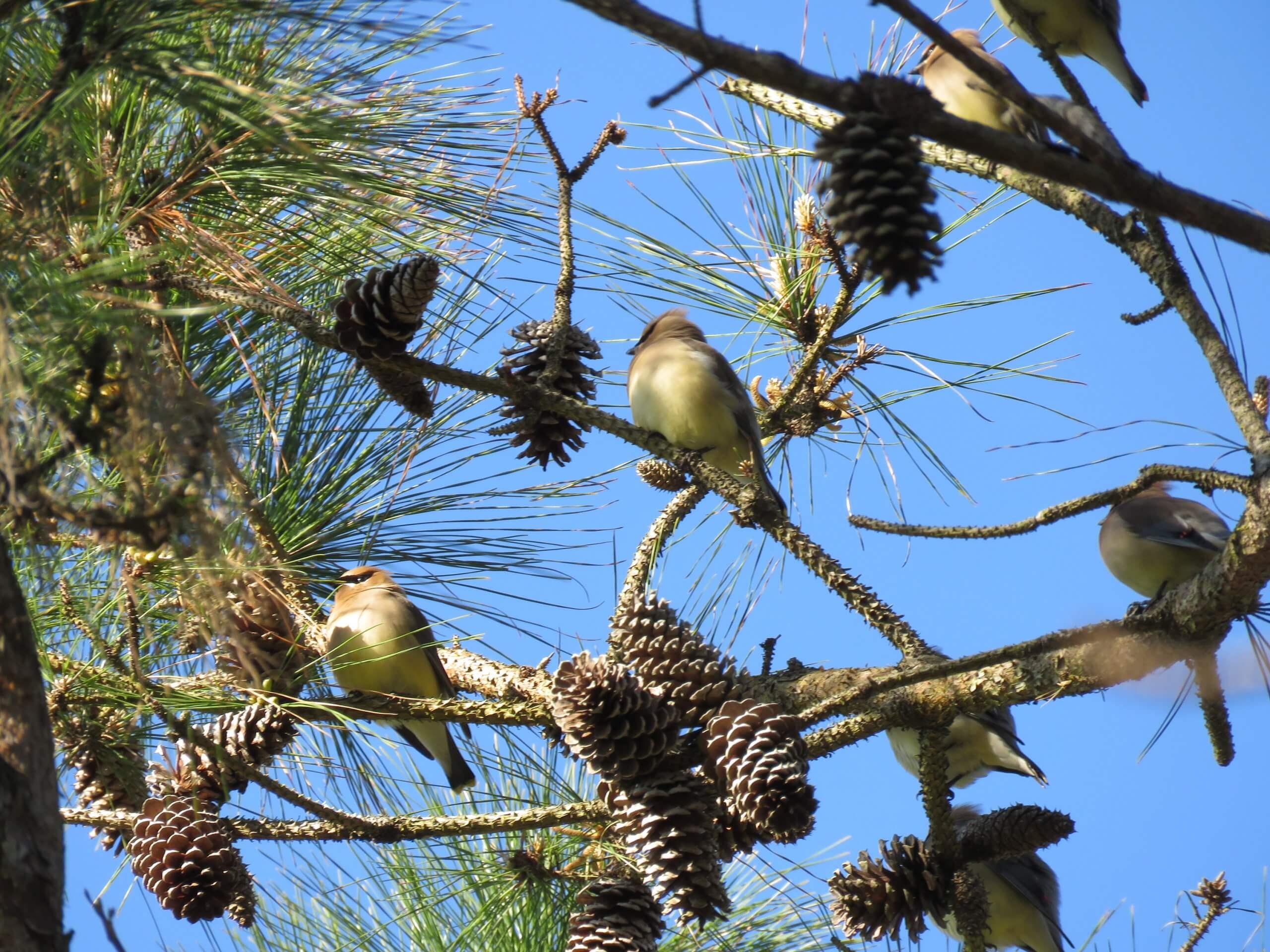 waxwings in pine