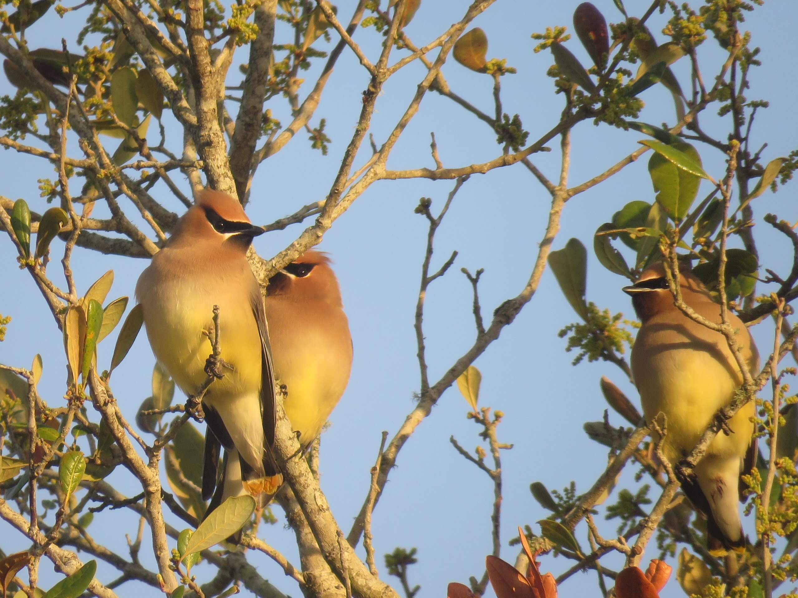Cedar Waxwings in LIve Oak