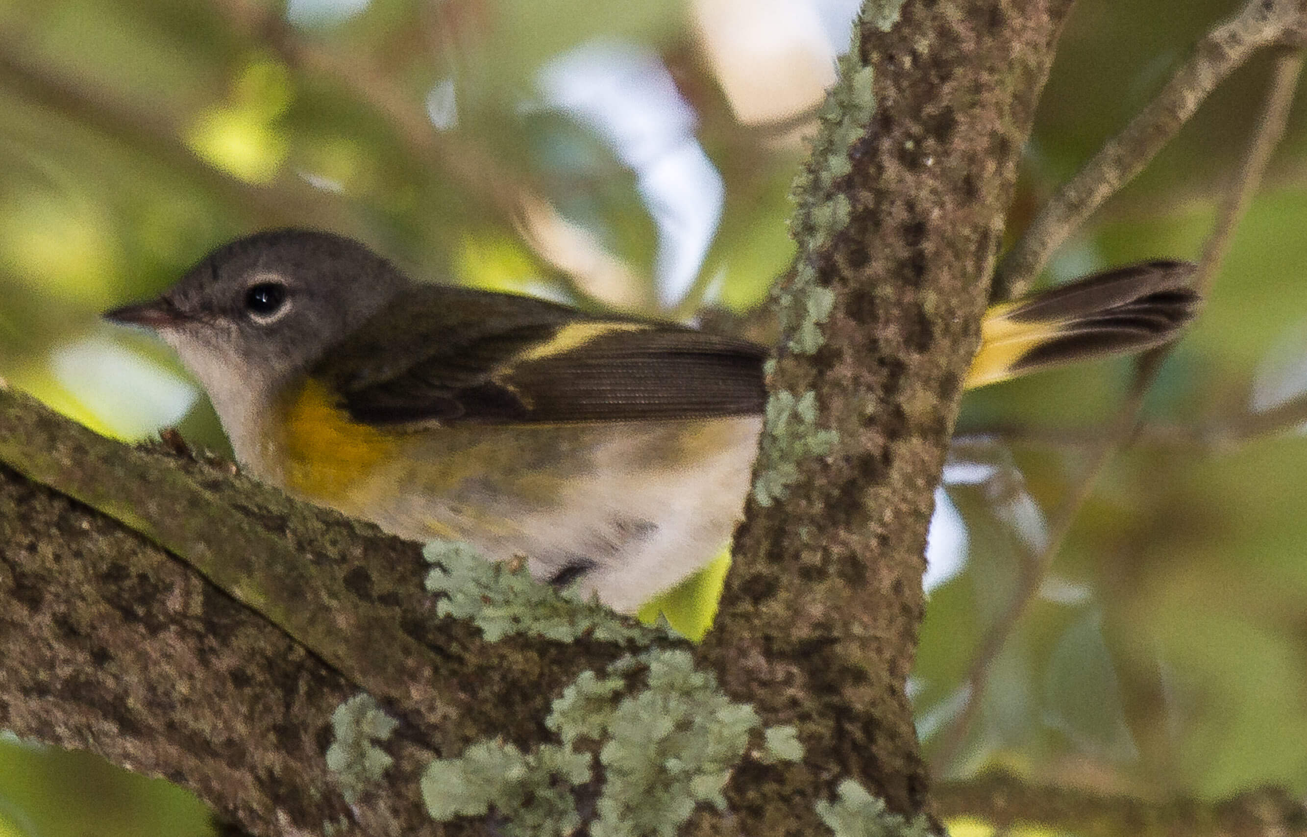 Keep your eye out for migrating warblers