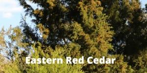 Eastern Red Cedar, Juniperus virginiana