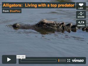 Alligators: Living with a top predator