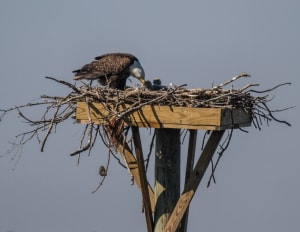 Bald Eagle Chick (s?) Hatch on Dewees Island for the 8th year.