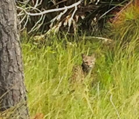 Read more about the article Bobcat Photos taken 2 ways by Conservancy Interns