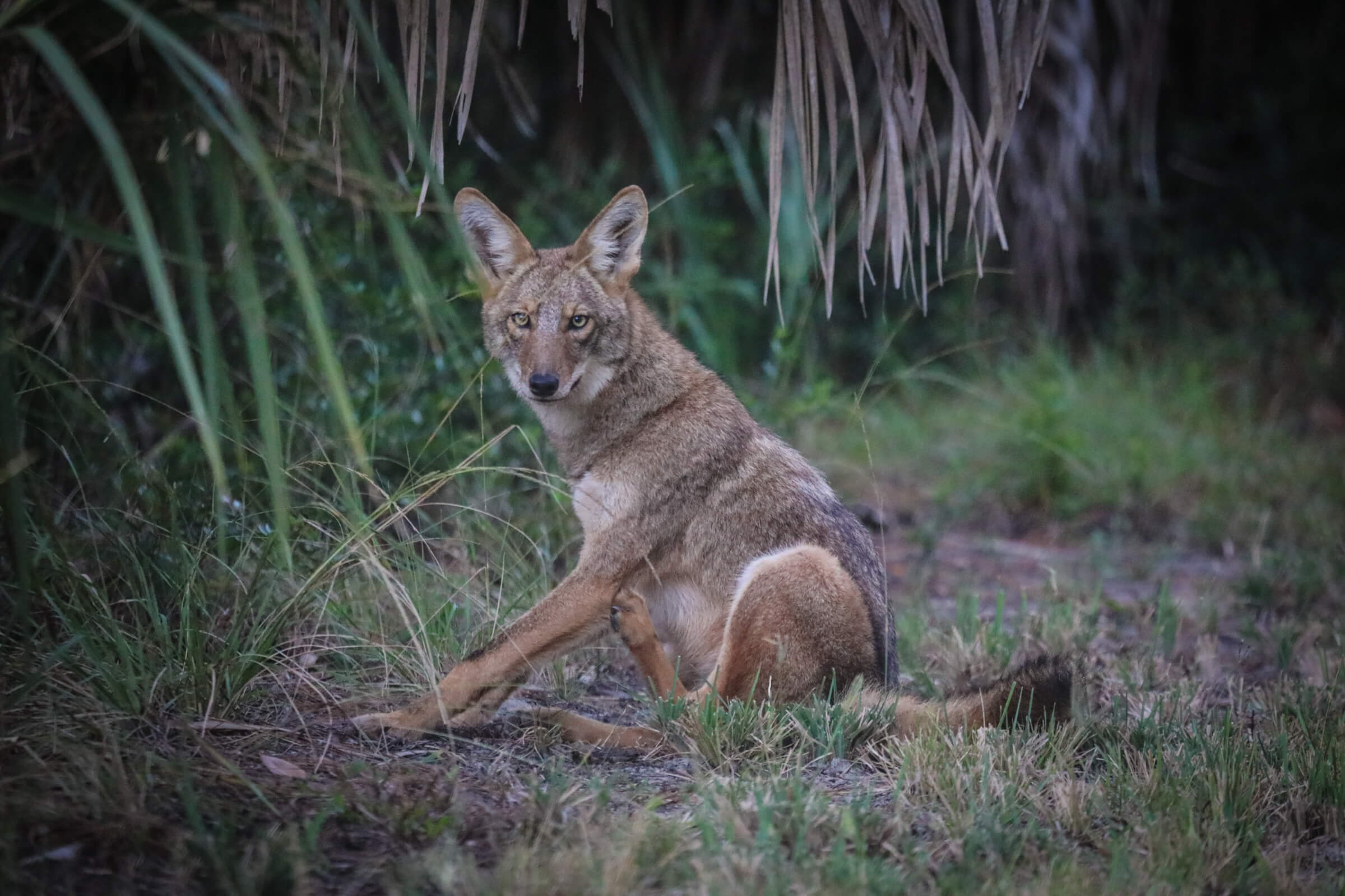 Read more about the article Living with Coyotes