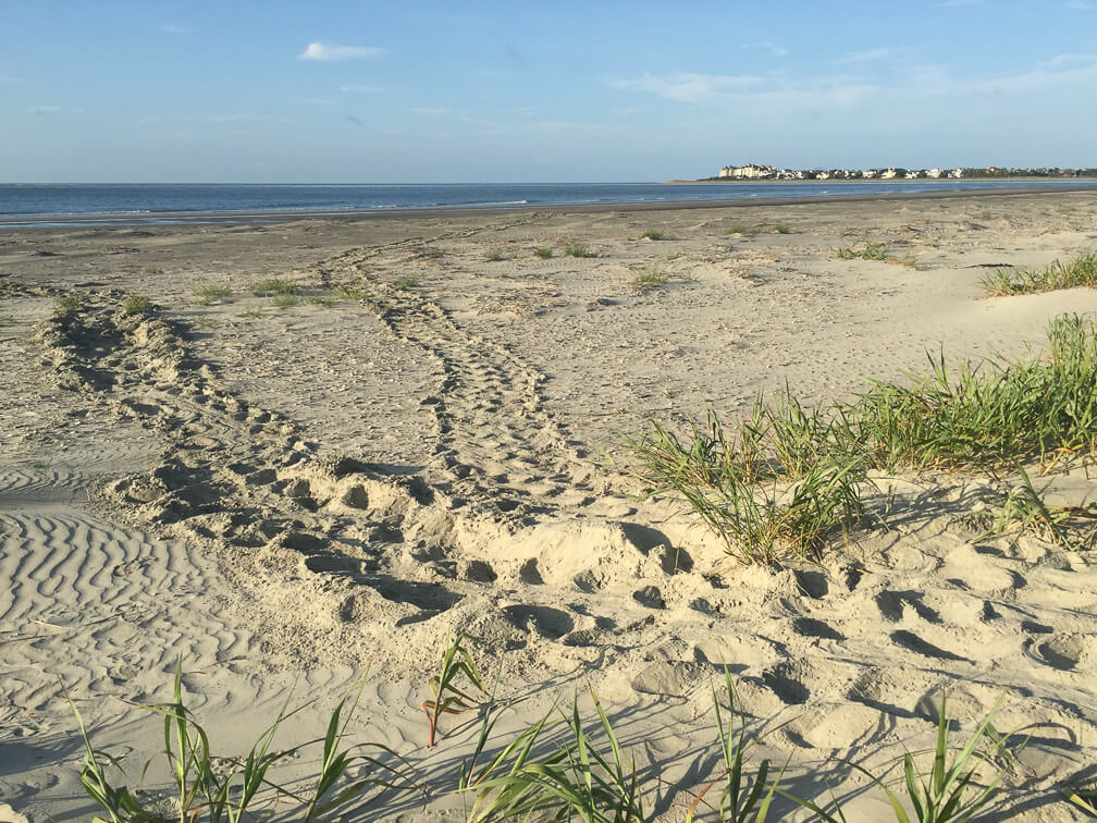 Read more about the article 2016 Loggerhead Turtle Nesting Season off to a Roaring Start
