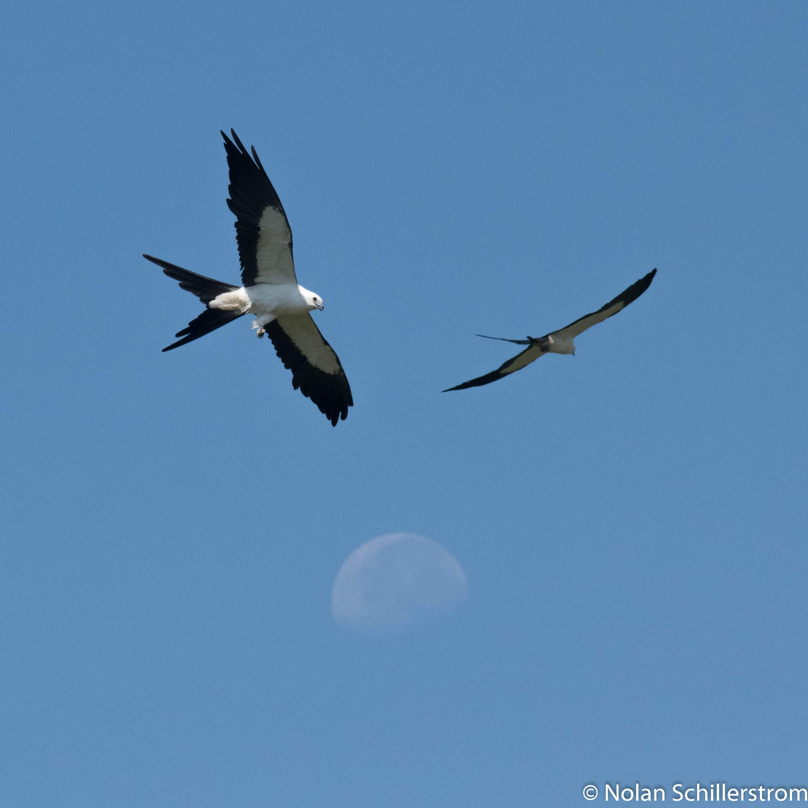 Read more about the article Swallow-tail Kite