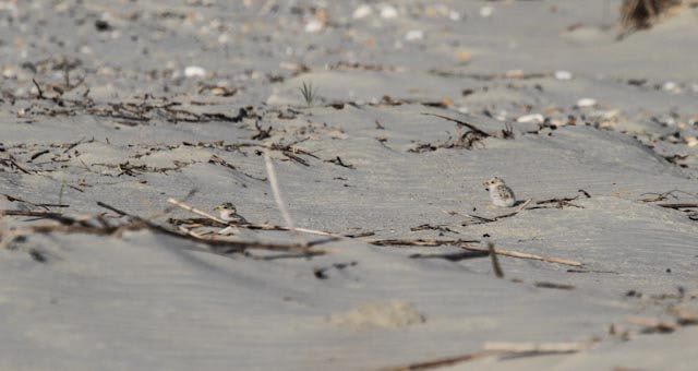 Endangered Least Tern Colony Under Assault by Amphibious Vehicle