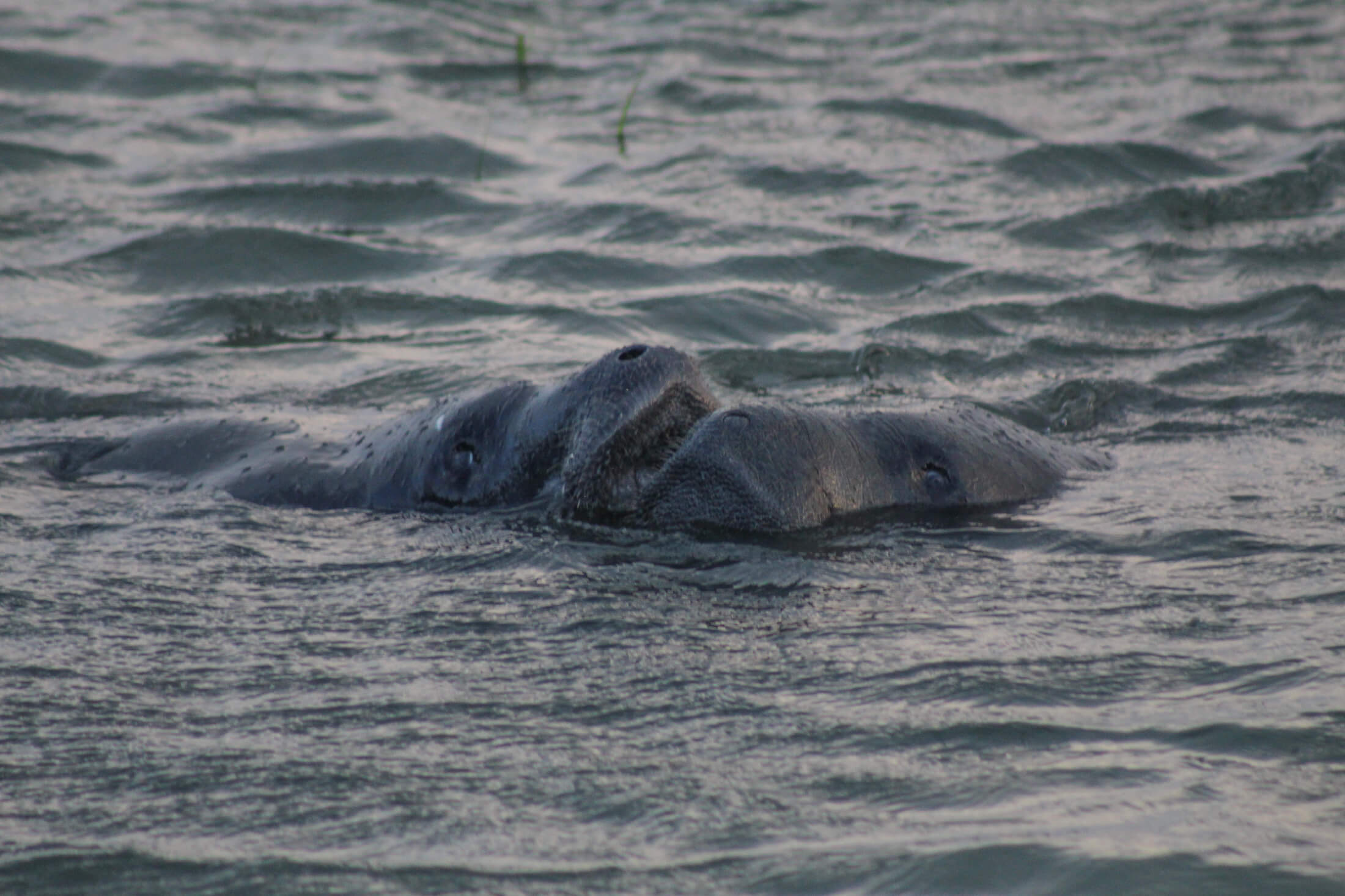 Read more about the article Manatees pay July 4 visit to Dewees