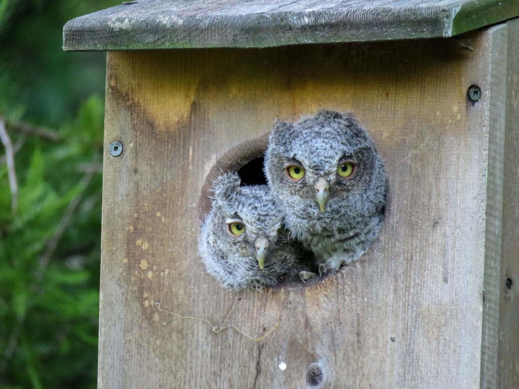 screech owl babies in wood duck box