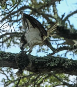 Osprey with Flounder