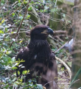Eaglet Update: The First Step is a Doozy!