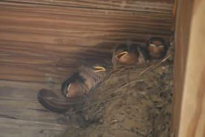 Baby barn swallows at the Huyler House