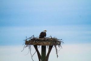 Eagle Nest Hatches