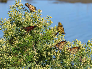 Don't miss the Butterflies this week!