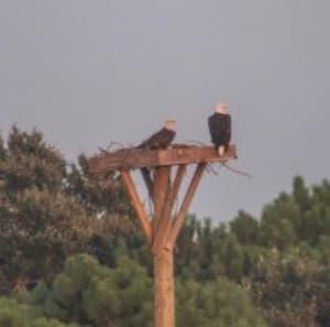Bald Eagles back on the platform