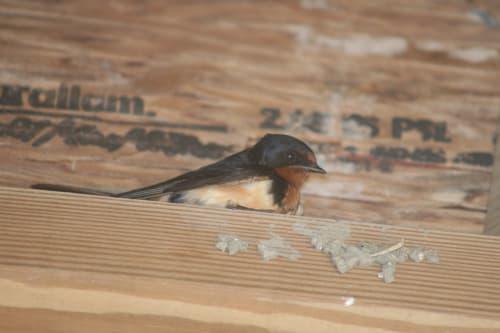 Adult barn swallow