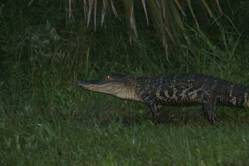 American Alligator crosses Old House Lane on the way to Chapel Pond