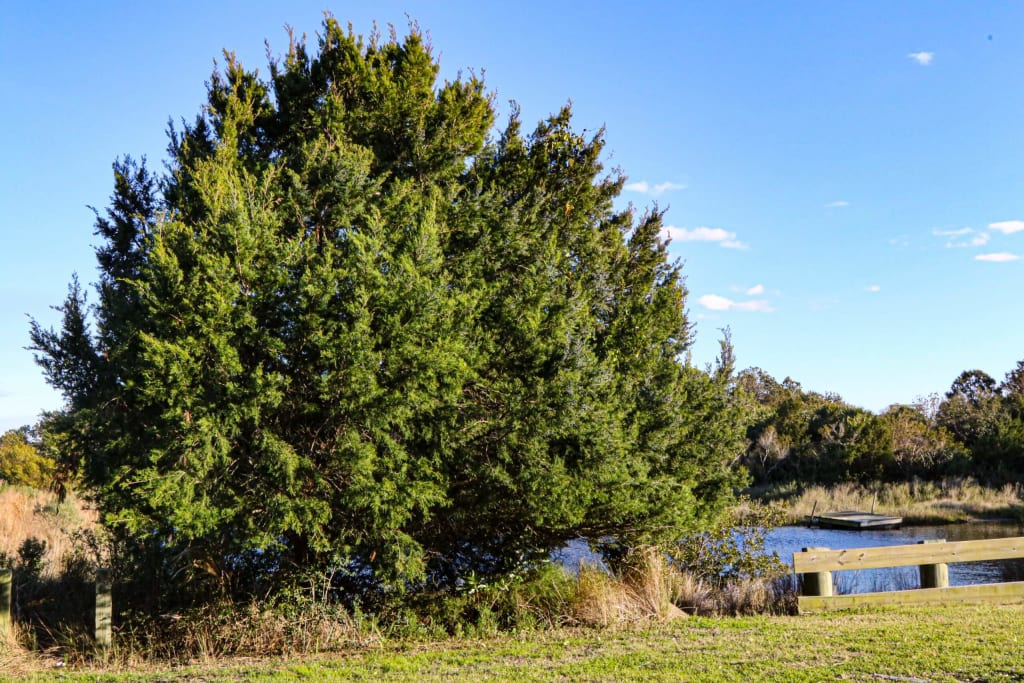 Eastern Red Cedar, Dewees Island