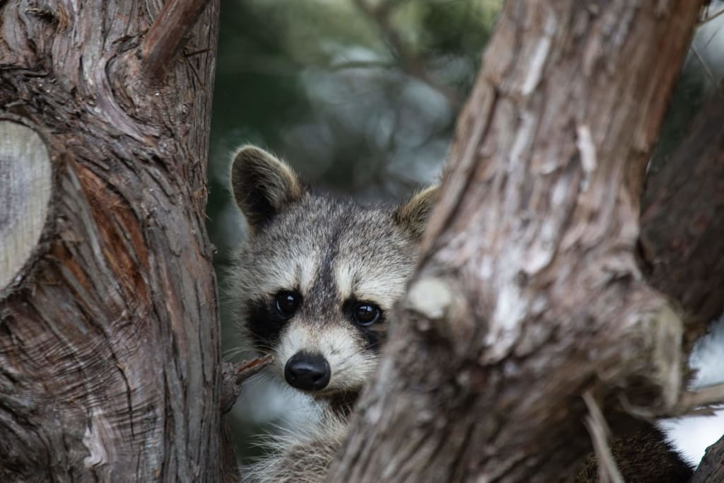 raccoon in red cedar