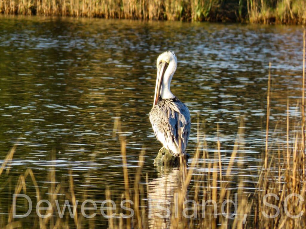 pelican hatched at crab bank