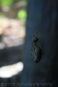 Some brown widows have striped legs like banana spiders