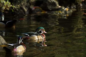 Read more about the article Wood Ducks