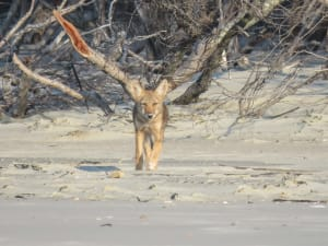 Read more about the article Coyote Pup plays on the beach