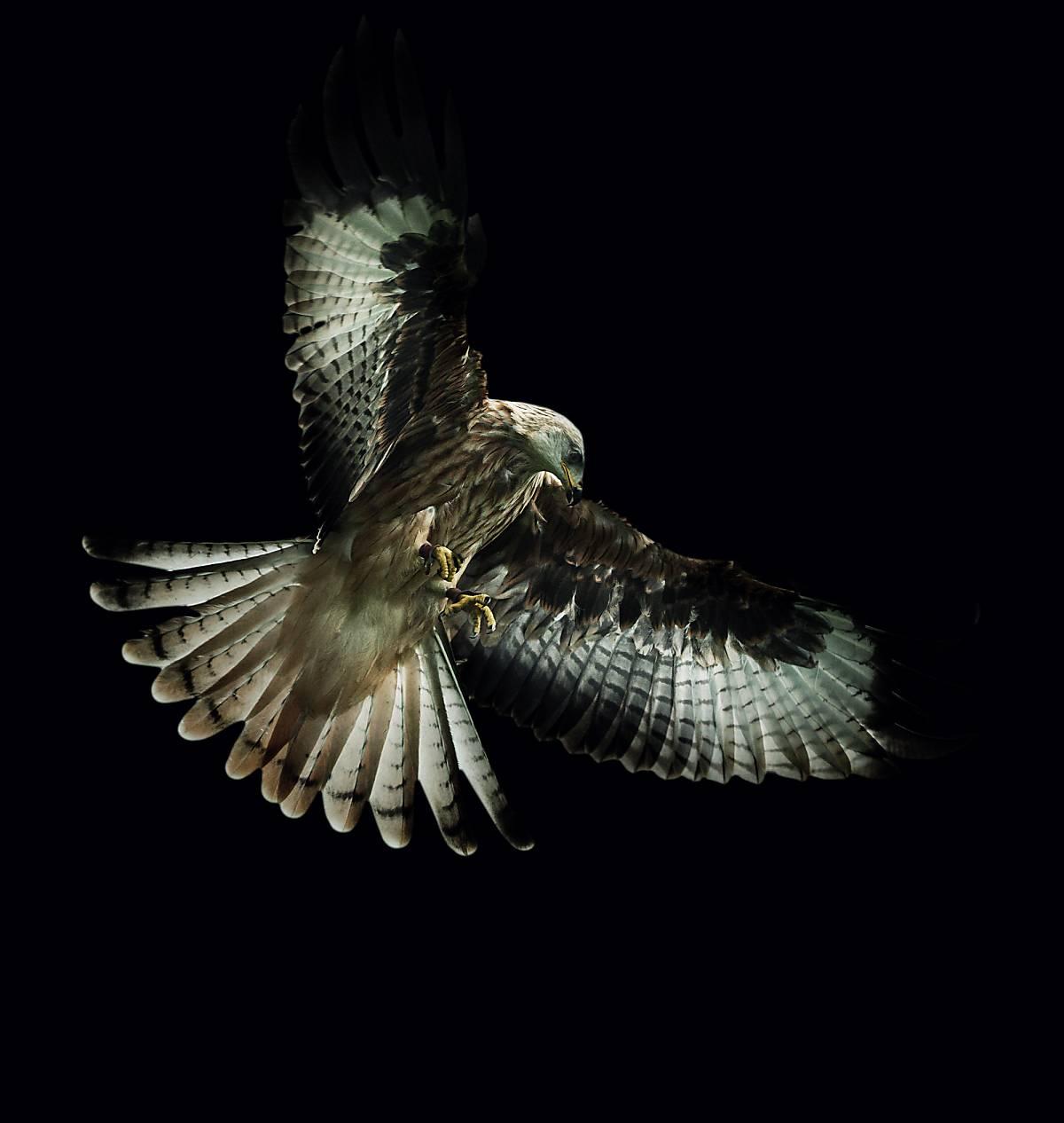 Rotmilan im Flug