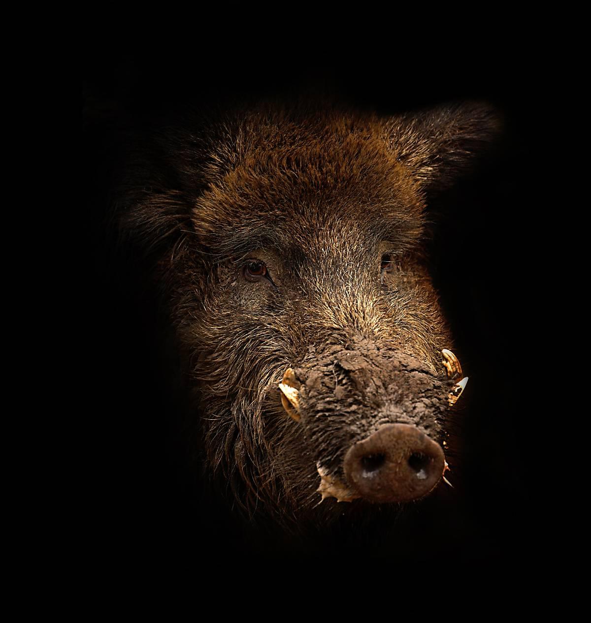 Wildschwein Kopf