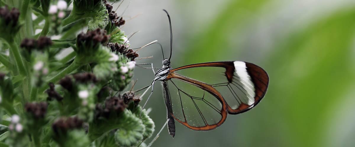 Schmetterlingsart mit durchsichtigen Flügeln