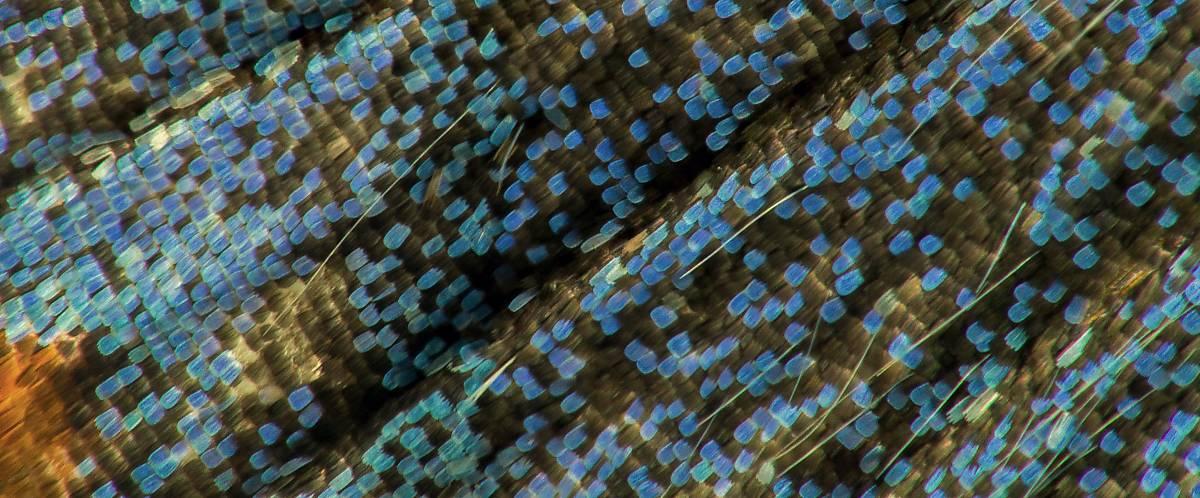 Schmetterlingsflügel haben eine besondere Oberflächenstruktur